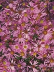 "Aster ""Wood's Pink"""