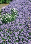 "Aster ""Lady in Blue"""